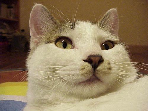 52  新浪生活   我的猫猫是个半岁大的小伙子,大名猫招财,小名猫猫.